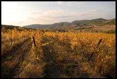 vigne, Domaine des Pierres Bleues, Syrah, Languedoc, Corbières, vin bio, automne